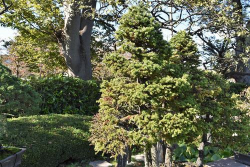 えぞあかまつ,bonsai