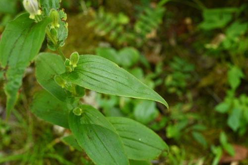 杜鵑,植物