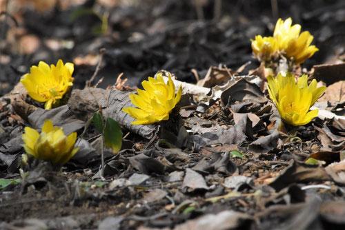 黄色い花,正月