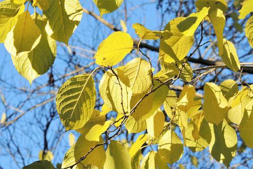 トチュウ 紅葉 黄葉