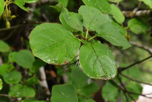 サラサドウダン 葉っぱ 特徴