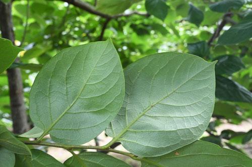 柿の葉,画像