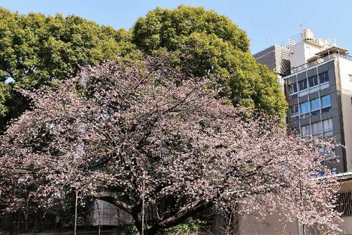 大カンザクラ,名所,早咲き