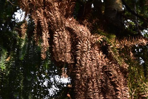 ぱらなまつの木