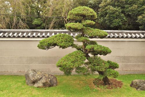 ラカンマキ 樹木