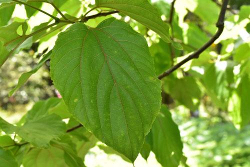 Japanese raisin tree,picture,leaf
