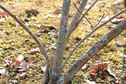 おおやまれんげの木の幹