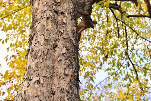 針桑の木,はりぐわ