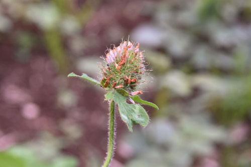 赤詰草,植物図鑑