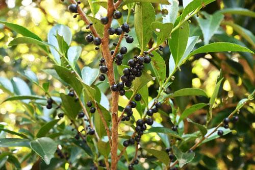ヒサカキの黒い実,ひさかき,樹木図鑑
