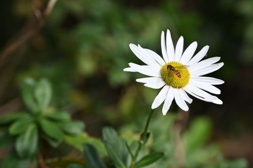Nippon daisy,Japanese flower