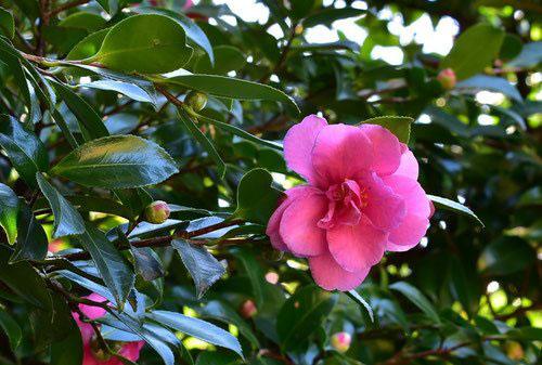 寒椿 ピンク 名前