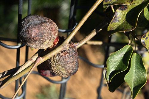 郁子の果実