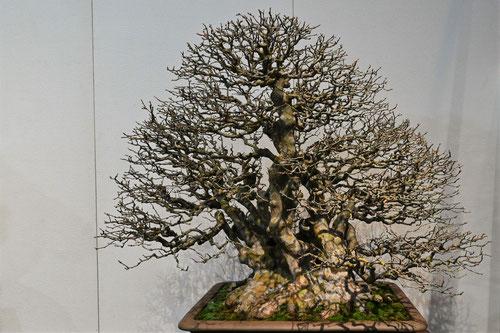 カリンの盆栽