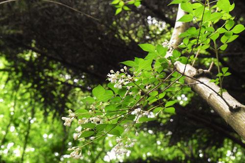 コメゴメの木