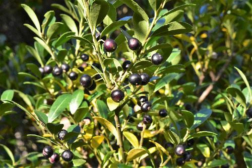 犬柘植の実,いぬつげ,黒い実