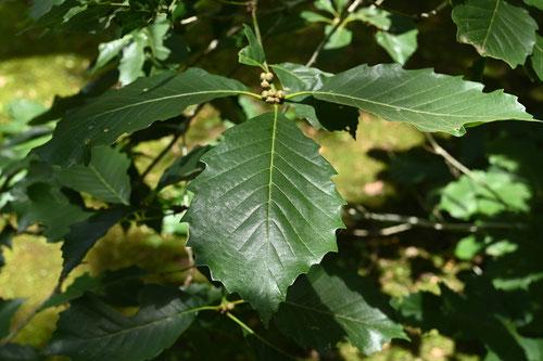 ナラガシワの木