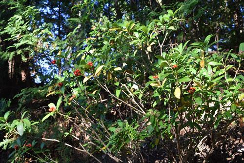 億両の木,赤い実
