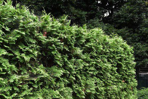 匂い檜葉 生垣