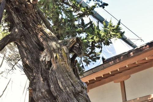 ビャクシンの木,木肌