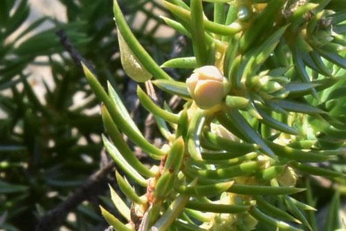 ハイネズの木,花,雌雄,はいねず