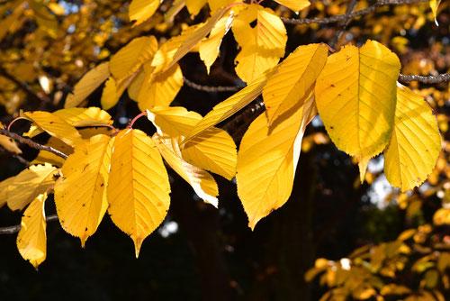 八重桜,黄葉,紅葉