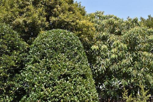 榊の木の剪定例