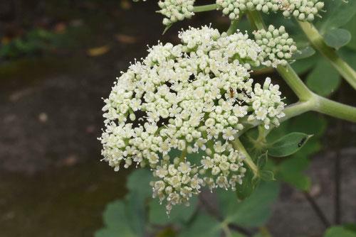 長命草の花,画像
