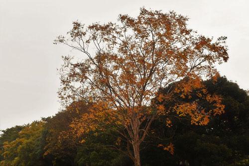 しまさるすべりの木,黄葉