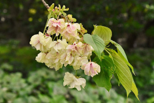 ウコン桜,画像,うこんざくら