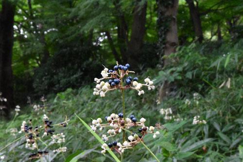 ミョウガに似た草,黒い実