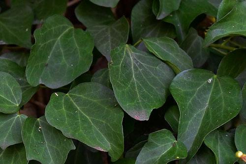 キヅタの葉っぱ 画像