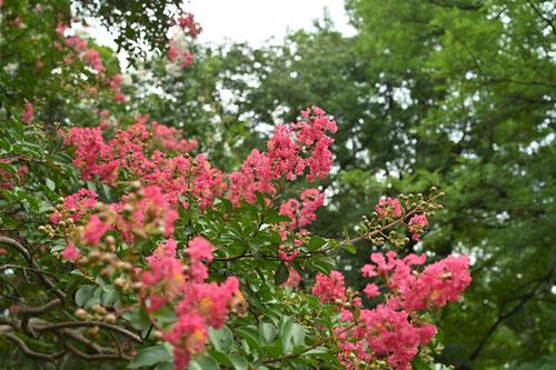 サルスベリの開花期間
