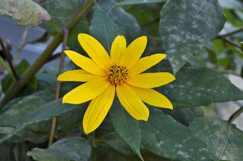菊芋の開花