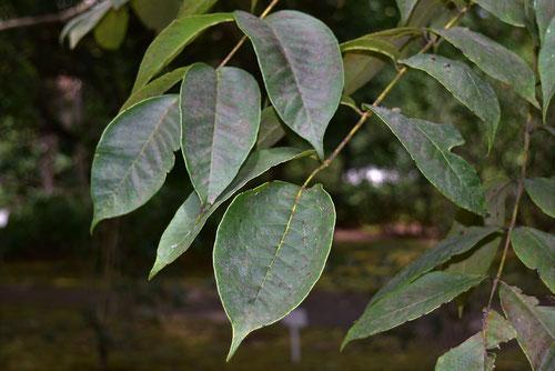 漆の木の葉っぱ,うるし