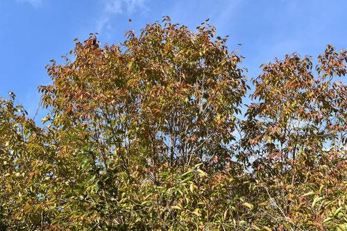 ネジキ 黄葉