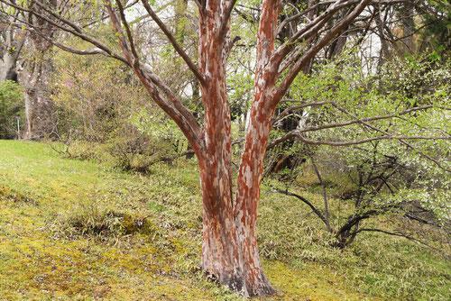 日光植物園,姫沙羅の木