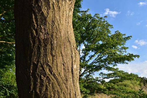Giant dogwood