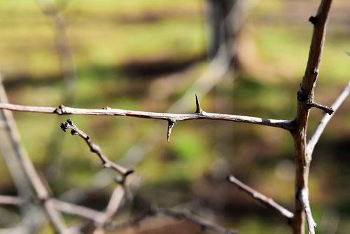 せいようさんざしの枝