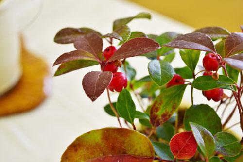 大実,やぶこうじ,葉が赤い種類