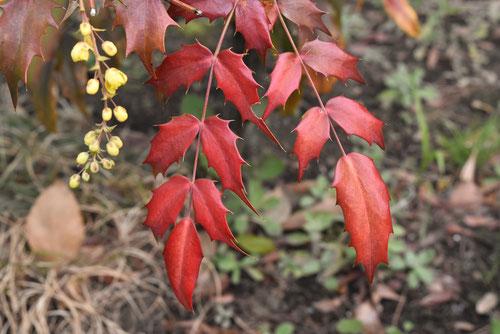 ヒイラギナンテン 紅葉 画像