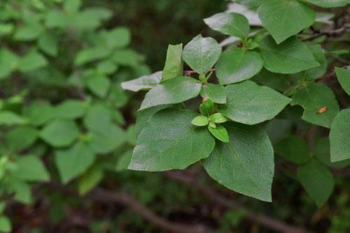 トウゴクミツバツツジ 葉っぱ