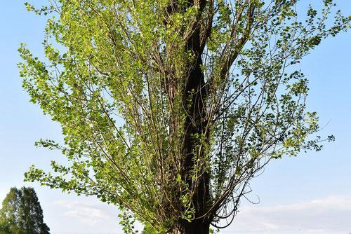 ポプラ 植物 樹木