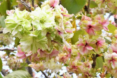 ウコン桜とギョイコウ桜,見分け