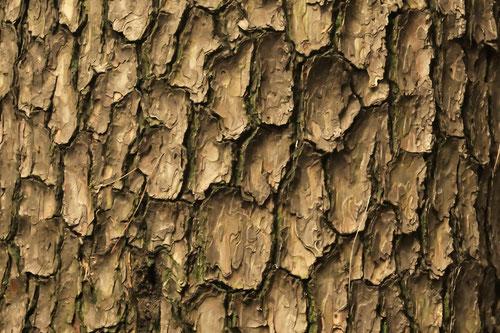 赤松の幹,あかまつ,アカマツ