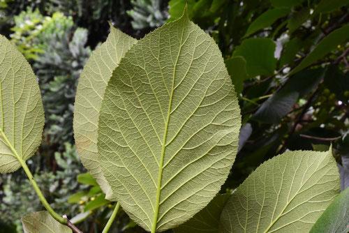 丸葉萵苣の木,葉