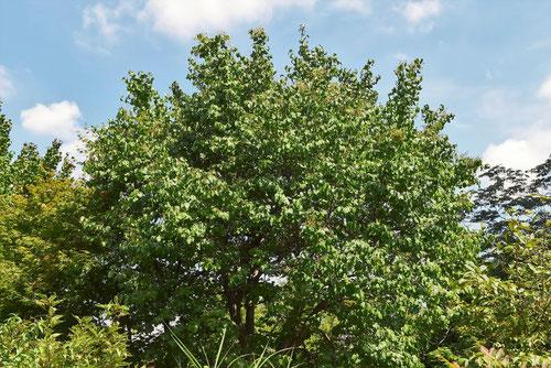 リラの木 高さ