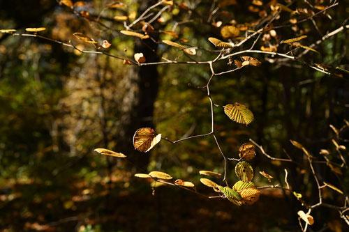 トサミズキ,紅葉,黄葉,画像