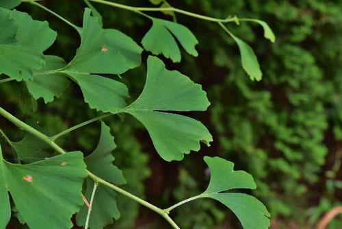イチョウの葉っぱ 画像