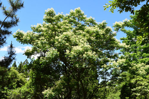 ゴンズイの木,樹木,花